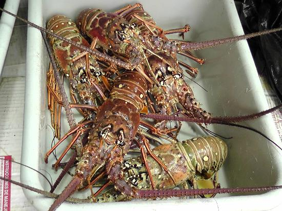 Aguada, Porto Rico: Fresh Lobster- caught that day