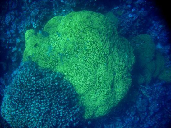 Gebel El Rosas: Corallo lattuga
