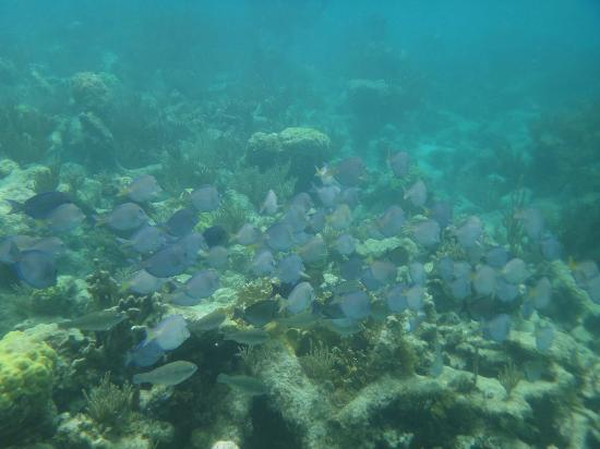 Mango Bay Resort: Passing school of Blue Tang