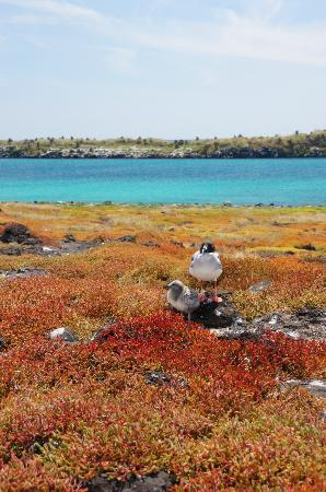 Galapagos Alternative: Swallow Tailed Gulls On South Plazas Island