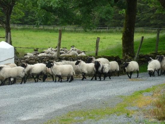 Glen Valley Farmhouse B&B: Sheep being headed through the gate