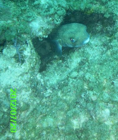 Stuart Cove's Dive Bahamas: Puffer Fish