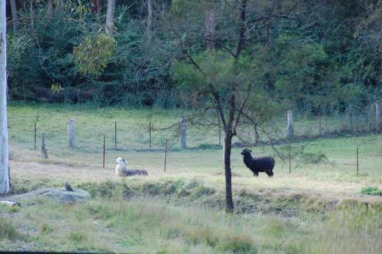 Bingle Tree Retreat: Outdoor view with Alpaca's