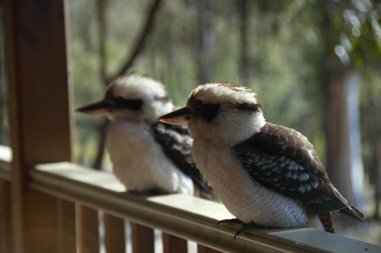 Bingle Tree Retreat: Kookaburras on veranda