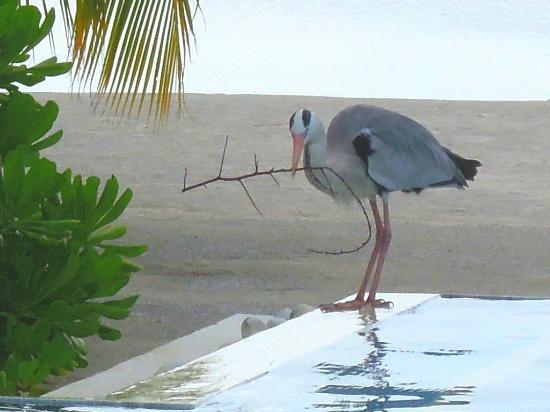 Olhuveli Beach & Spa Maldives: цапля