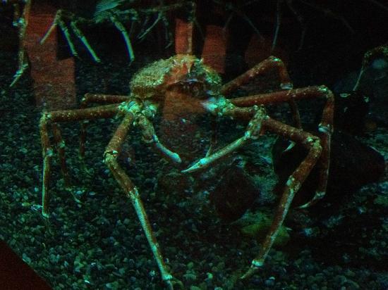 Georgia Aquarium: Giant Japanese Spider Crab
