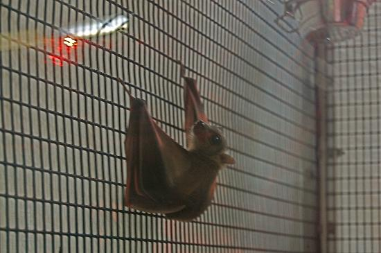 Cranbrook Institute of Science: Bat clinging to the side of the enclosure