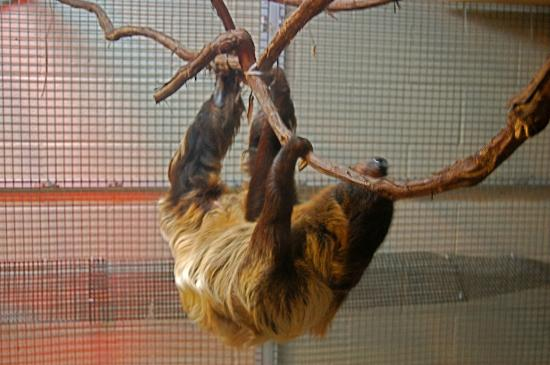 Cranbrook Institute of Science: Moe, the nocturnal two-toed sloth