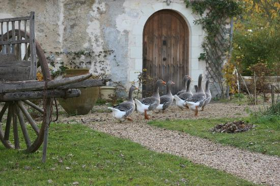 Le Moulin Bregeon: Our geese in front of the cottage