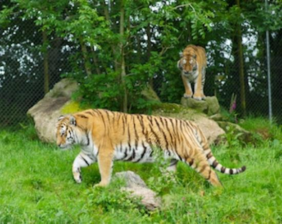 Dartmoor Zoological Park: Tigers at close quarters
