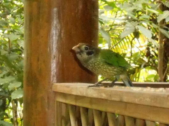 Crater Lakes Rainforest Cottages: Birdlife on the porch