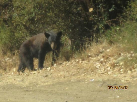 Ojai, Californië: Young Black Bear