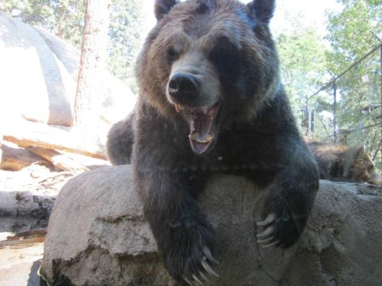 the bear was actually yawning but it was a good photo cheyenne mountain zoo colorado. Black Bedroom Furniture Sets. Home Design Ideas