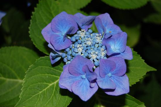 The Old Harbor Inn: Beautiful Hydrangea in our front yard!
