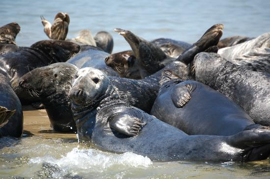 The Old Harbor Inn: Seals in Chatham