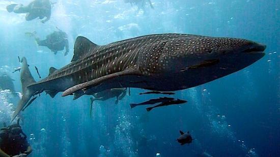 DJL Diving: Whale shark spotted by DJL customers on their 4th ever dive!