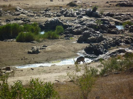Mjejane River Lodge: Waterbuck drinking from pond just below lawn