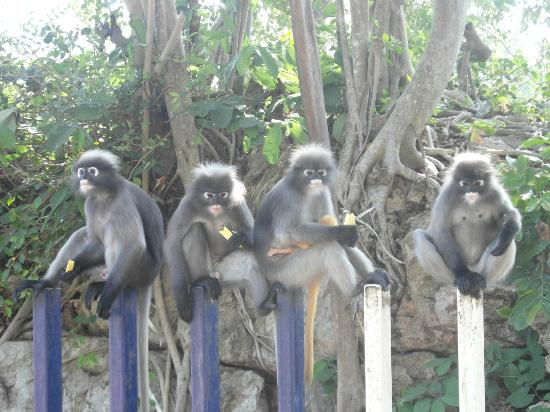 Ao Manao: Spectacled Langurs
