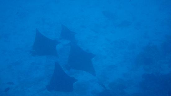 Viceroy Maldives: 4 Eagle rays at the house reef