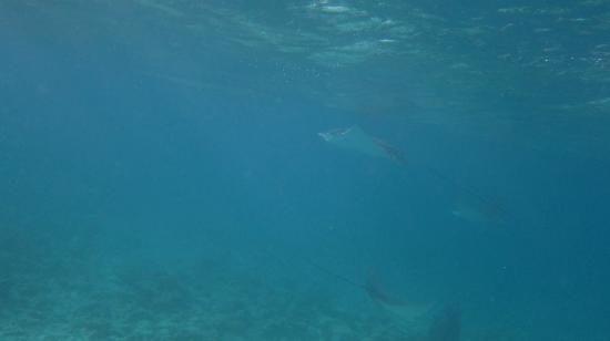 Viceroy Maldives: Eagle rays hoovering around 1