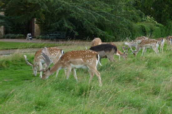The Charlecote Pheasant Hotel: Deer in park opposite the hote.l
