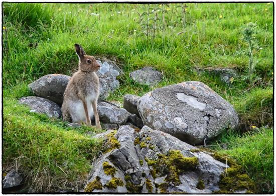 Highland Wildlife & Birdwatch Safaris: Mountain Hare