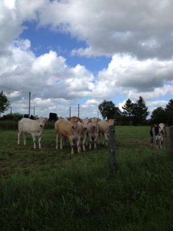 Greeted by cows on our way to The Haven!