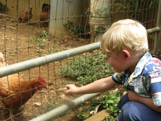 Kauai Kunana Dairy Farm Tour : They even have chickens (that eat banana peels)