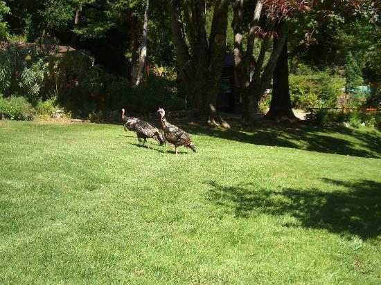 Wild turkeys at Ripplewood Resort