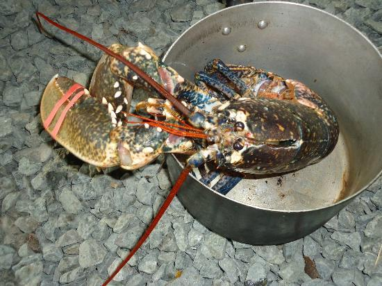 Trellyn Woodland Camping: Lobster, caught localy, brought to us still alive