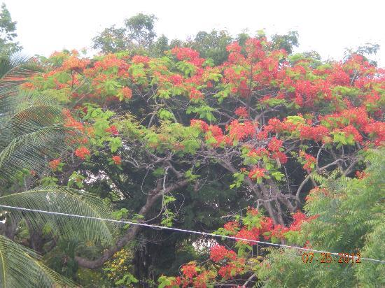 The Villas at Sunset Lane: Beautiful flamboyant trees