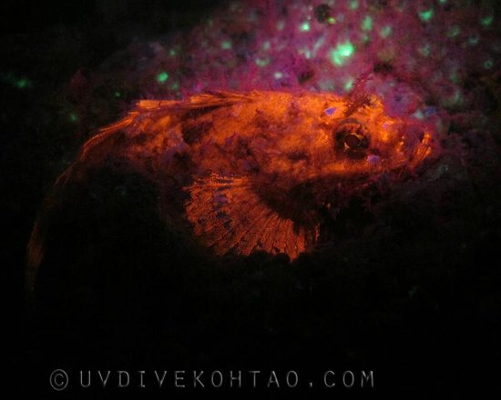 UV Dive Koh Tao: A Fluorescent Scorpion Fish during a fluo night dive, Koh Tao, Thailand