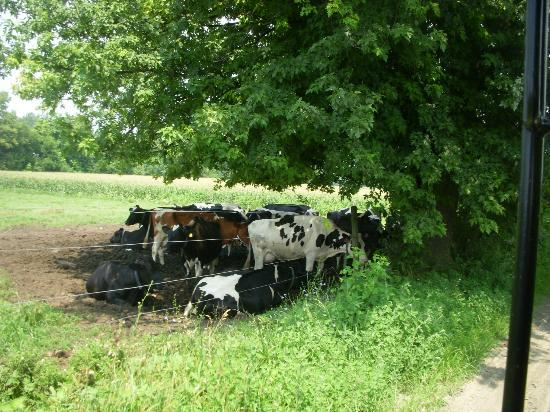 Ed's Buggy Rides: Cows lazing under a tree on a hot day
