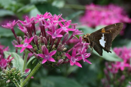 Airlie Gardens : Butterfly on Flower