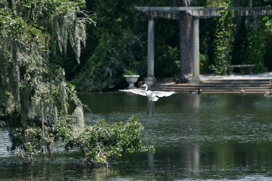 Airlie Gardens: Egret in flight over pond