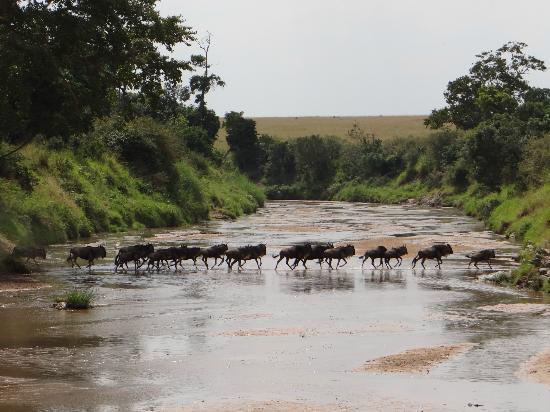 Naboisho Camp, Asilia Africa: The wildebeest migration