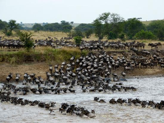 Sayari Camp, Asilia Africa: Crossing the Mara River
