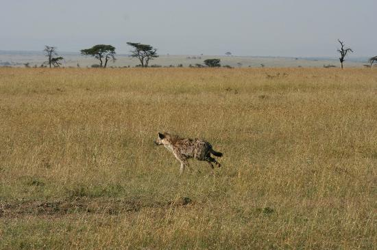 Kicheche Mara Camp: looking for the cheetah's kill