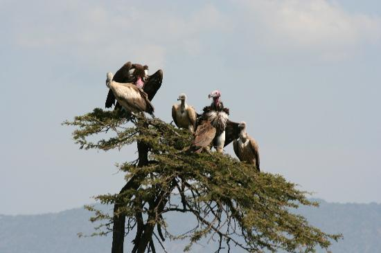 Kicheche Mara Camp: awaiting the crumbs