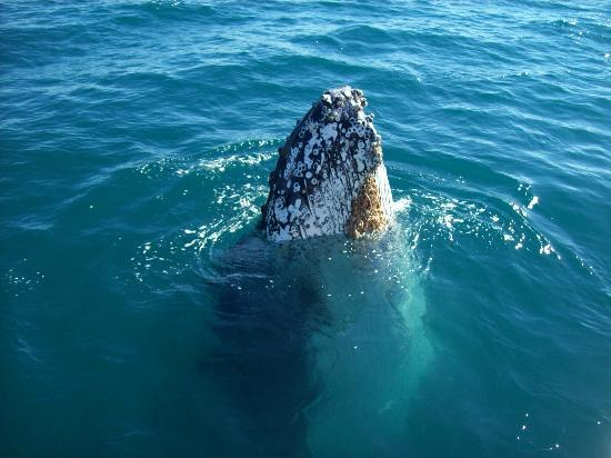 Freedom Whale Watch: Just a little Spy Hop