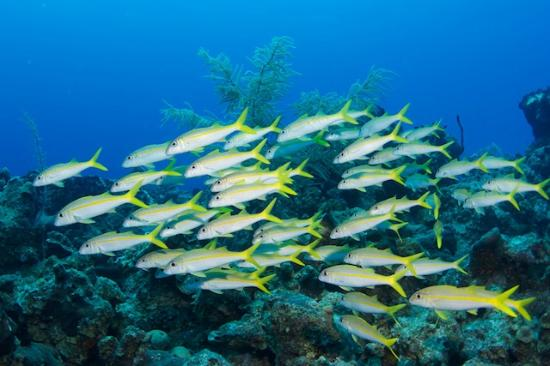 Conception Island National Park: School of goatfish
