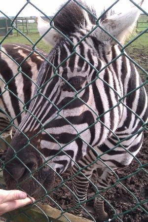 Fife Animal Park: Hand feedin the Zebra