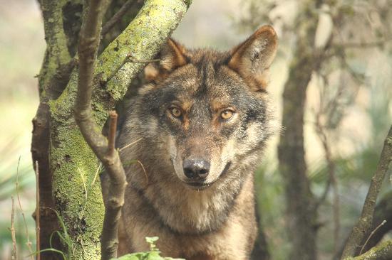 Lobo Park: Iberian Wolf