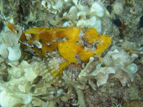 Sardinia Divers: Skorpionfisch im Algenbett