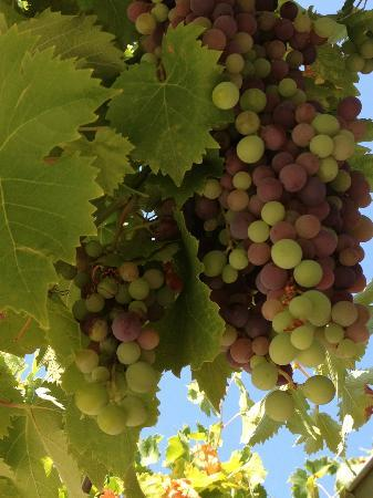 Domaine de Mourchon: some of the grapes from the arbor outside