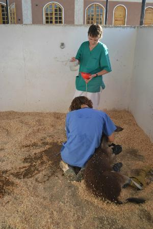 ACE- Animal Care in Egypt: Treating a baby donkey for dehydration