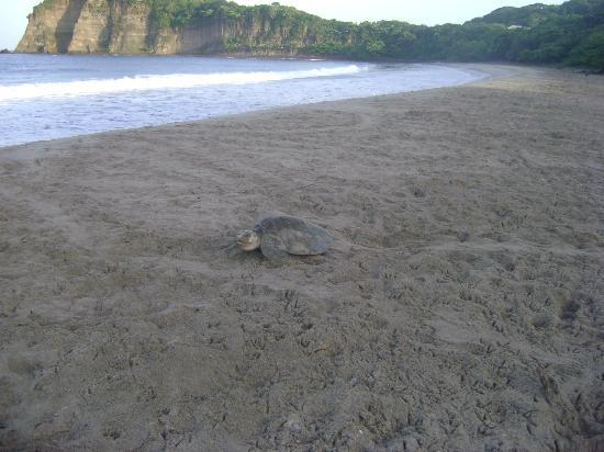 Parque Maritimo el Coco: Turtle Activities at Playa la Flor and Playa el Coco