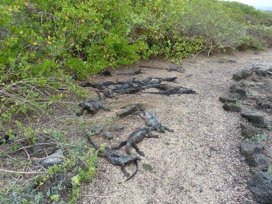 Galapagos Beach at Tortuga Bay : Marine Iguanas at Tortuga Bay