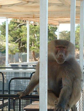 Sa Coma, Spain: cheeky monkey