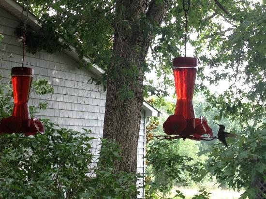 McCoy Place Bed & Breakfast: One of the many hummingbirds that visit